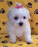 Very Cute Maltese Puppies For Adoption