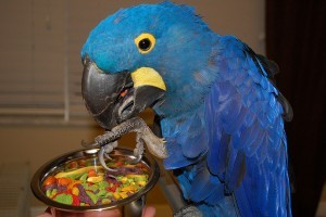 A Pair of Hyacinth Macaw Parrots