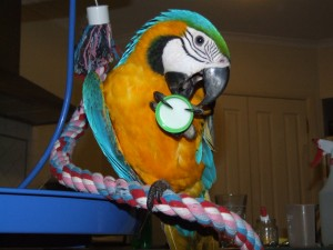 Blue and Gold Macaws for Rehoming