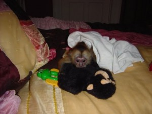 Charming Capuchin Monkey Available