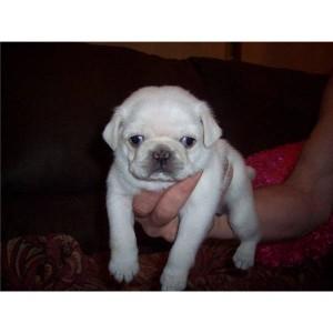 Cream White Pug Puppies for Adoption - 350.00 US$
