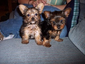 Yorkie Puppies Now Available