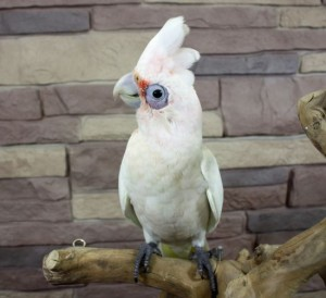 Two Cockatiels for Adoption