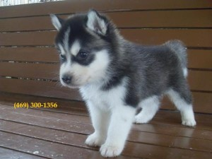 Healthy Male and Female Husky Puppies for Sale