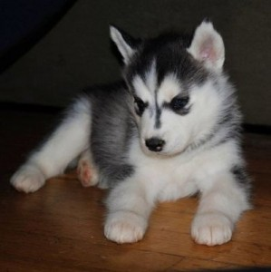 Siberian Husky Puppy - 2 Months Old