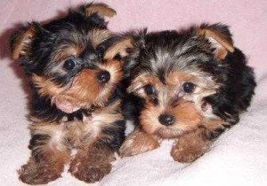 TOY SIZE YORKIE PUPPIES