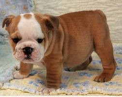 Male and Female English Bulldogs
