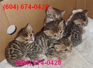 Registered Bengal Cat for Adoption
