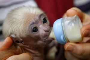 tamped baby capuchin monkey to a good home(babyrayandpatricia@yahoo.com)