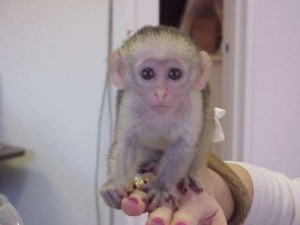 Adorable Xmas Capuchin baby for adoption.