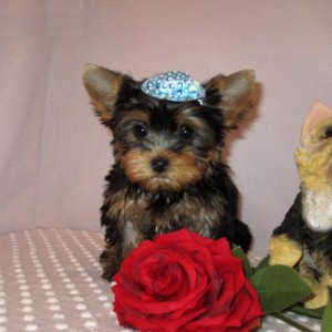 Adorable Male And Female Yorkies Puppies Ready For A New Home