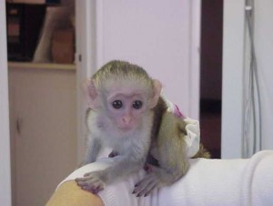 lovable capuchin babies for adoption
