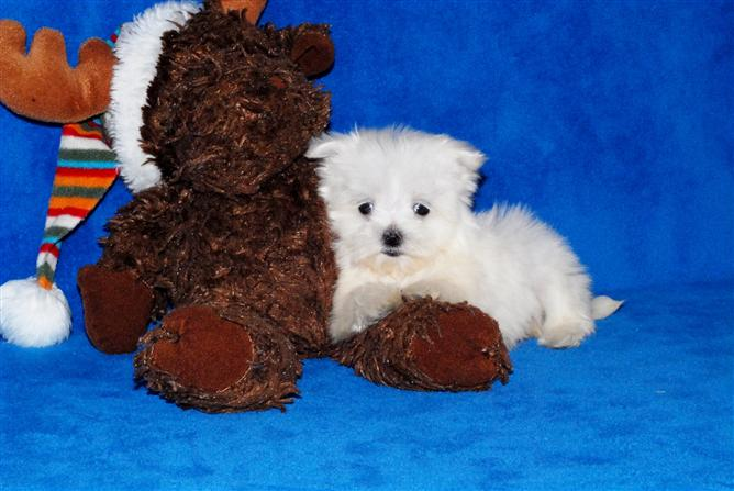 13weeks old Maltese Puppies For X-Mas