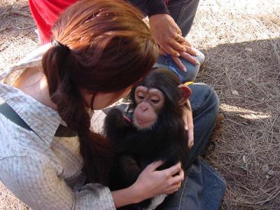 Baby Chimpanzee in Diaper Baby Chimpanzee in Diaper Cute