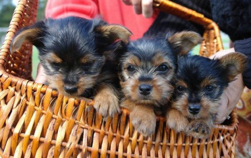 Tea Cup Yorkies puppies For Free Re Homing