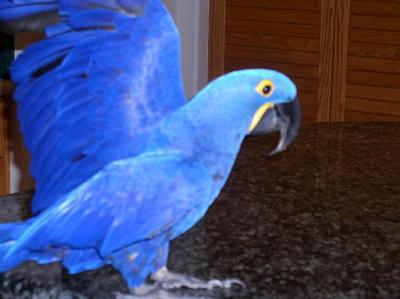 Intelligent Hyacinth Macaw For Sale