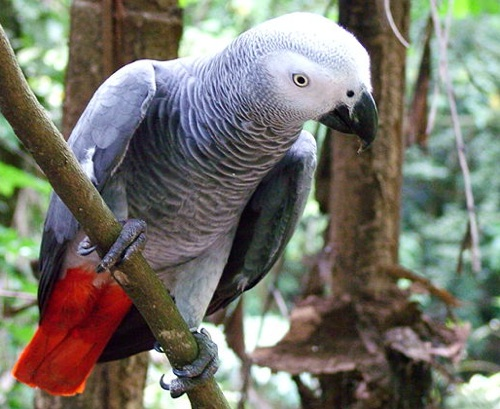 cute and vaccinated african gray parrot ready fro f